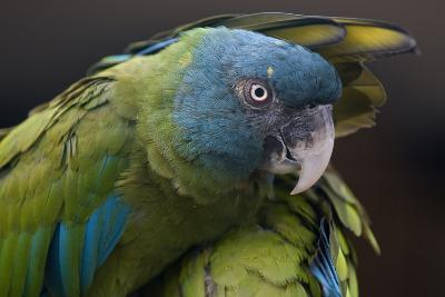 Blue Headed Macaw (Primolius Couloni) One Stretching its Wing over Another-Edwin Giesbers-Photographic Print