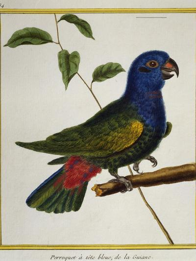 Blue-Headed Parrot (Pionus Menstruus)--Giclee Print