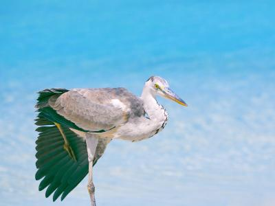 Blue Heron, Maldives, Indian Ocean, Asia-Sakis Papadopoulos-Photographic Print