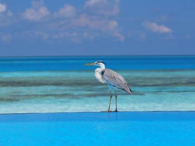 Blue Heron Standing in Water, Maldives, Indian Ocean-Papadopoulos Sakis-Photographic Print