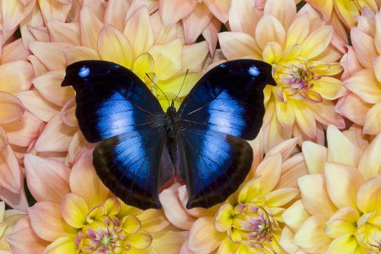 Blue Hookwing Butterfly, Napeocles jucunda on Dahlias-Darrell Gulin-Photographic Print