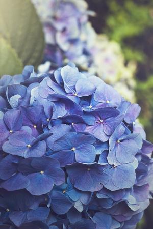 https://imgc.artprintimages.com/img/print/blue-hydrangea-in-the-garden_u-l-q105b8x0.jpg?p=0