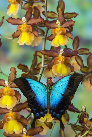 Blue Iridescence Swallowtail Butterfly, Papilio Pericles-Darrell Gulin-Photographic Print