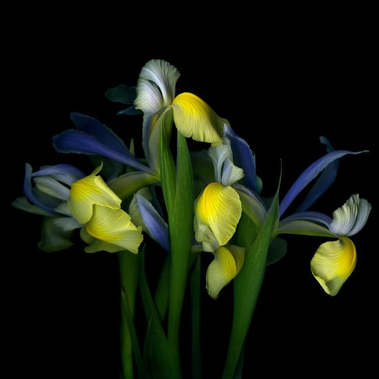 Blue Iris-Magda Indigo-Photographic Print