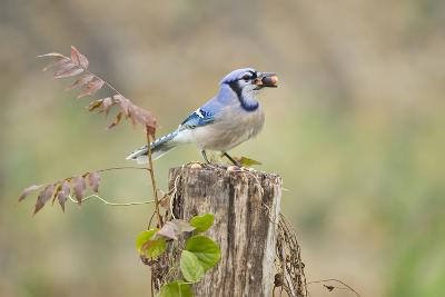 Blue Jay Bird, Adults on Log with Acorns, Autumn, Texas, USA-Larry Ditto-Photographic Print