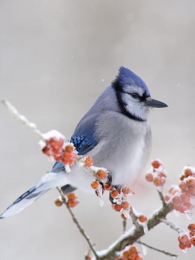 Blue Jay (Cyanocitta Cristata) in Icy Berries-Steve Maslowski-Photographic Print