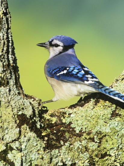 Blue Jay (Cyanocitta Cristata), North America-Steve Maslowski-Photographic Print