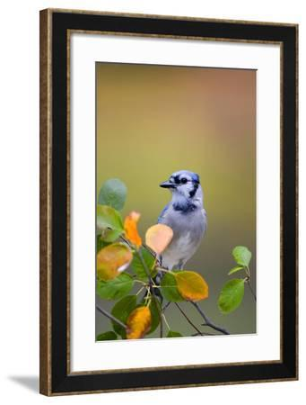 Blue Jay in Serviceberry Bush in Fall, Marion Co. IL-Richard and Susan Day-Framed Photographic Print