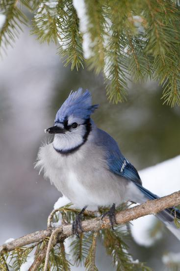 Blue Jay in Spruce Tree in Winter, Marion, Illinois, Usa-Richard ans Susan Day-Photographic Print