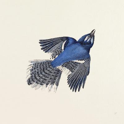 Blue Jay Nineteenth Century--Giclee Print