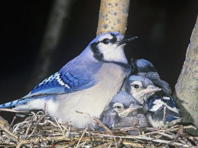 Blue Jay on its Nest with Young, Cyanocitta Cristata, North America-John & Barbara Gerlach-Photographic Print
