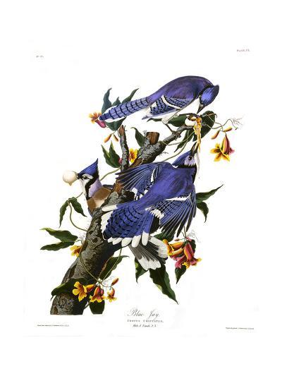 Blue Jay-John James Audubon-Giclee Print