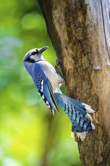 Blue Jay-Gary Carter-Photographic Print