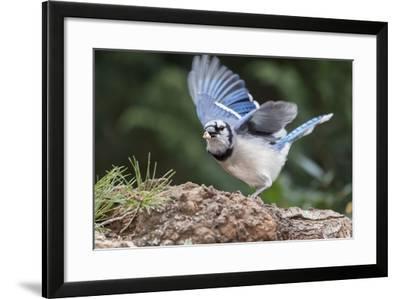Blue Jay-Gary Carter-Framed Photographic Print