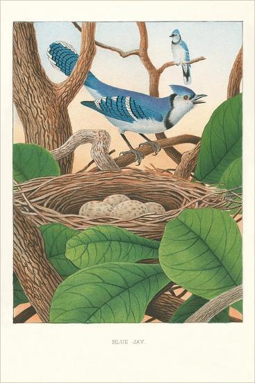 Blue Jays--Art Print