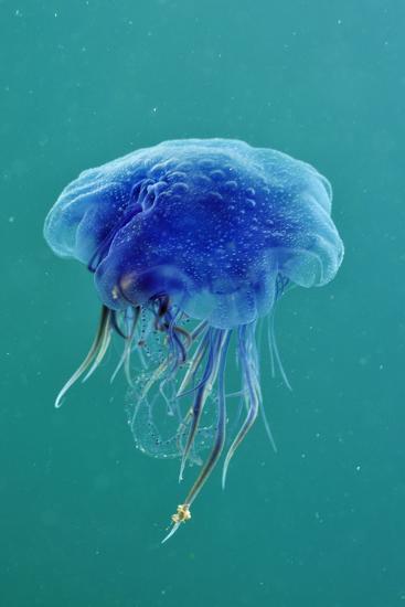 Blue Jellyfish (Cyanea Lamarckii), Feeding on Small Plankton, Lundy Island, Devon, UK-Linda Pitkin-Photographic Print