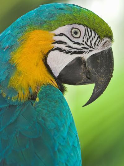 Blue Macaw, Costa Rica-Glenn Bartley-Photographic Print
