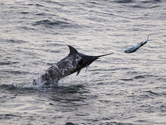 Blue Marlin (Makaira Nigricans) Hunting Dorado (Coryphaena Hippurus), Congo, Africa-Mick Baines & Maren Reichelt-Photographic Print