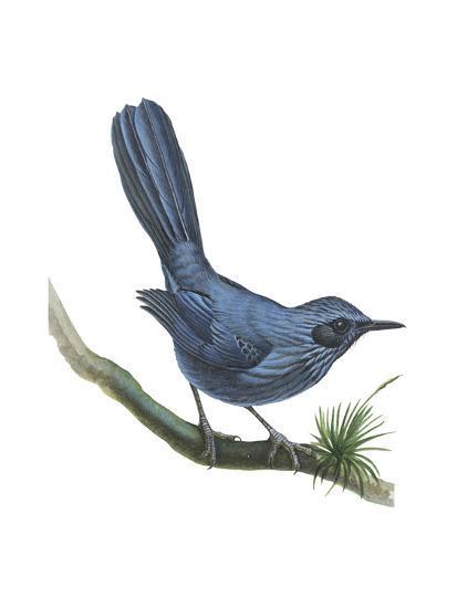 Blue Mockingbird (Melanotis Caerulescens), Birds-Encyclopaedia Britannica-Art Print