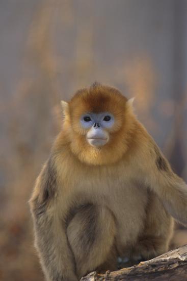 Blue Monkey-DLILLC-Photographic Print