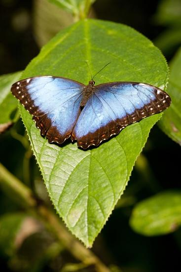 Blue Morpho Butterfly, Costa Rica-Paul Souders-Photographic Print