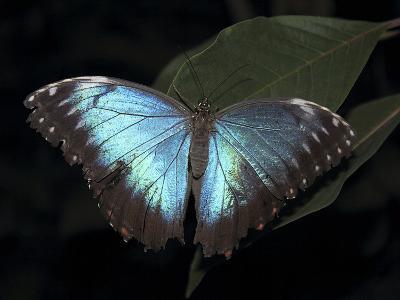 Blue Morpho Butterfly (Morpho Peleide)-Raj Kamal-Photographic Print
