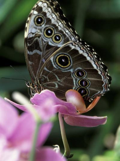 Blue Morpho Butterfly-Adam Jones-Photographic Print
