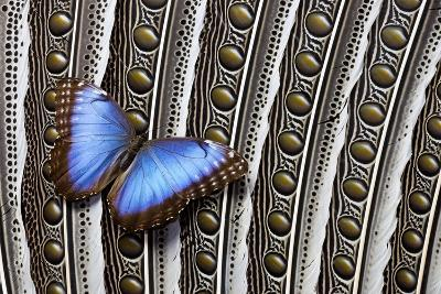 Blue Morpho on Wing Feathers of Argus Pheasant-Darrell Gulin-Photographic Print