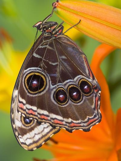 Blue Morpho Resting on an Orange Asiatic Lily-Darrell Gulin-Photographic Print