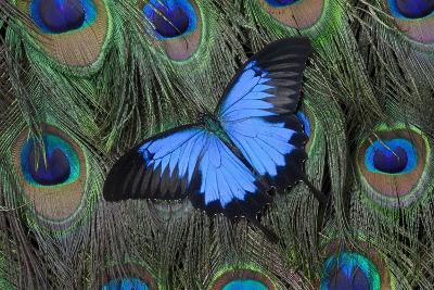Blue Mountain Swallowtail Butterfly on Peacock Tail Feather Design-Darrell Gulin-Photographic Print