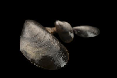 Blue Mussels, Mytilus Edulis, in Seaside Park, New Jersey.-Joel Sartore-Photographic Print