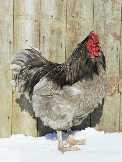 Blue Orpington Domestic Chicken, in Snow, USA-Lynn M^ Stone-Premium Photographic Print