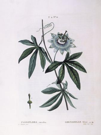 https://imgc.artprintimages.com/img/print/blue-passion-flower-passiflora-caerulea_u-l-puwqrc0.jpg?p=0