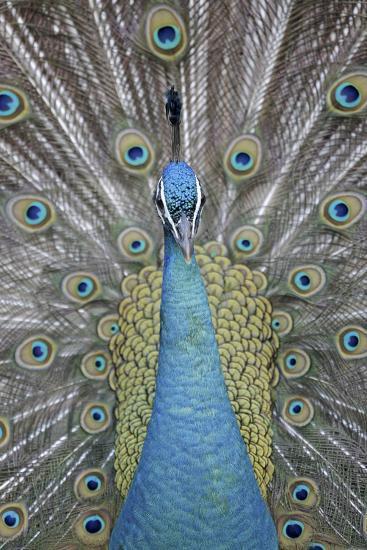Blue Peacock, Pavo Cristatus, Portrait-Ronald Wittek-Photographic Print