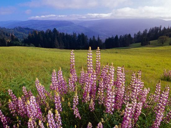 Blue-Pod Lupine in Bloom, Oregon, USA-Adam Jones-Photographic Print