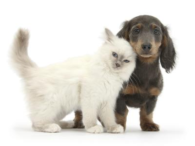 Blue-Point Kitten and Blue-And-Tan Dachshund Puppy, Baloo, 15 Weeks-Mark Taylor-Photographic Print