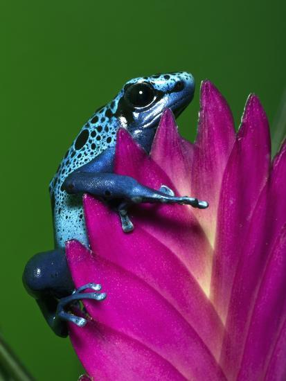 the best attitude df32a aa6bf Blue Poison Dart Frog Aka Okopipi, Surinam Photographic Print by Adam Jones    Art.com