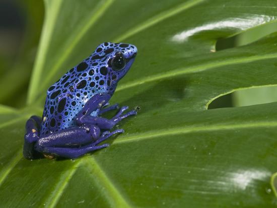 Blue Poison Dart Frog (Dendrobates Azureus), Captivity-Joe McDonald-Photographic Print