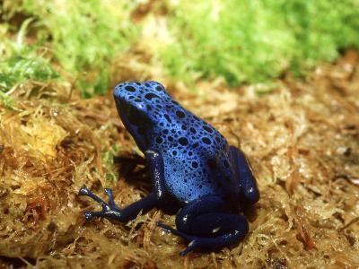 Blue Poison Dart Frog, Surinam-Andrew Bee-Photographic Print