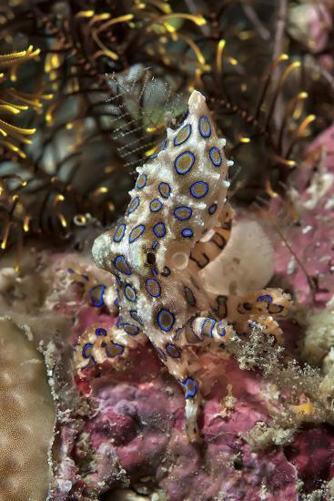 Blue-Ring Octopus and Coral, Raja Ampat, Papua, Indonesia-Jaynes Gallery-Photographic Print