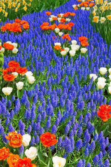 Blue River of Muscari Flowers in Holland Garden-neirfy-Photographic Print