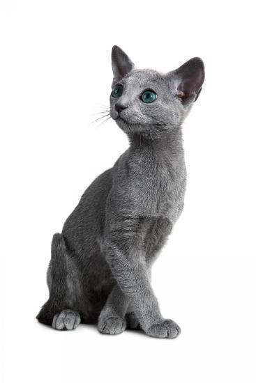 Blue Russia Cat-Fabio Petroni-Photographic Print