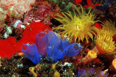 Blue Sea Squirts or Tunicates (Dendrophillia) and Yellow Cave Coral (Tubastrea)-Reinhard Dirscherl-Photographic Print