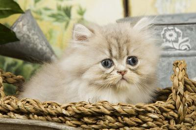 Blue Shaded Persian Kitten in Basket--Photographic Print