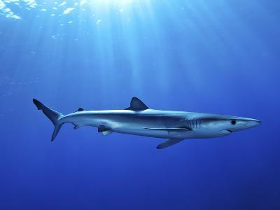 Blue Shark (Prionace Glauca) in the Azores, Portugal, Atlantic, Europe-Mark Harding-Photographic Print