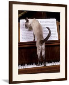 Blue Siamese Standing on Piano 'Reading' Music