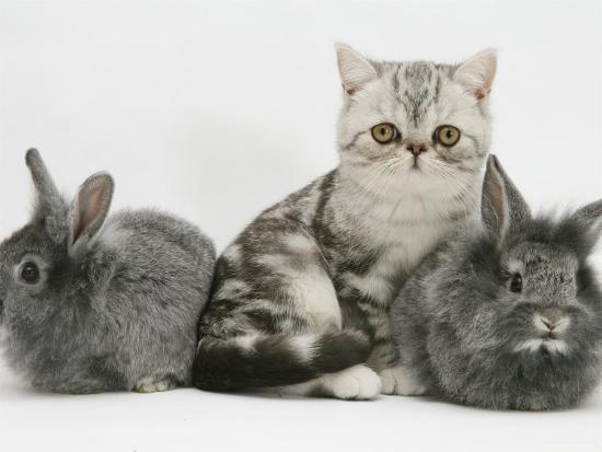 Blue-Silver Exotic Shorthair Kitten with Baby Silver Lionhead Rabbits  Photographic Print by Jane Burton | Art com