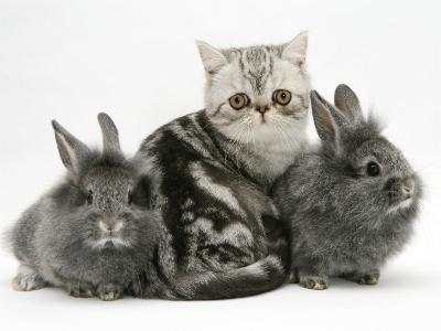 Blue-Silver Exotic Shorthair Kitten with Baby Silver Lionhead Rabbits-Jane Burton-Photographic Print