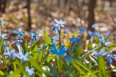 Blue Snowdrops-Nataliya Dvukhimenna-Photographic Print