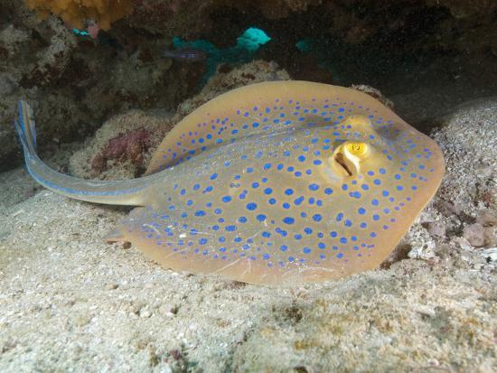 Blue-Spotted Fantail Ray (Taeniura Lymma), Ningaloo Reef Western Australia, Indian Ocean-Andy Murch-Photographic Print